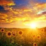 SunflowerDelight