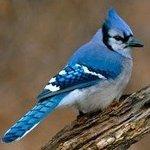 Jay.Bird