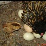 Yard_Eggs