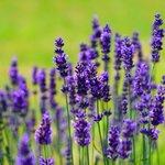 Lavender80