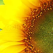 SunBlossom