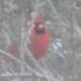 cardinal39