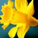 daffodil7
